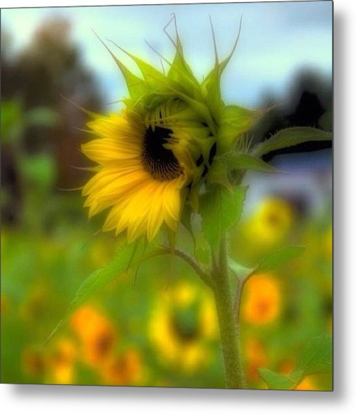 A Little Sunshine In A Cold, And Drabby Metal Print