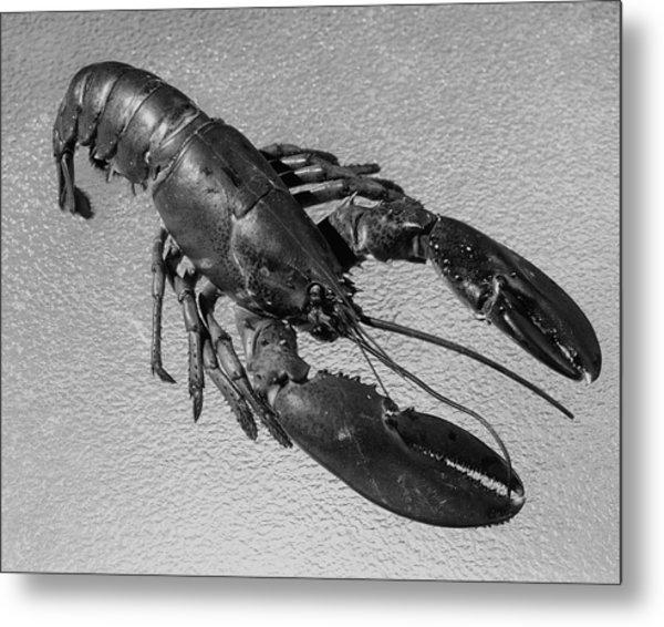A Lobster From Maine Metal Print by Dana B. Merrill