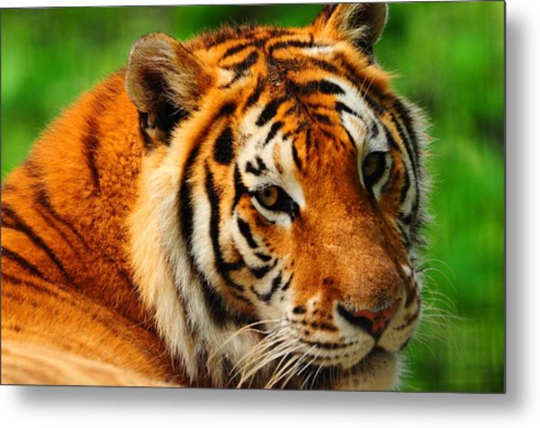 A Look From A Tiger Metal Print by Valarie Davis