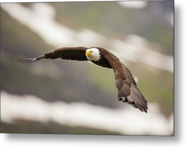 A Mature Bald Eagle In Flight Metal Print