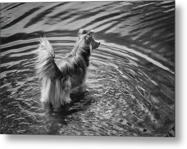 A Mixed Herding Breed Dog Stands Metal Print