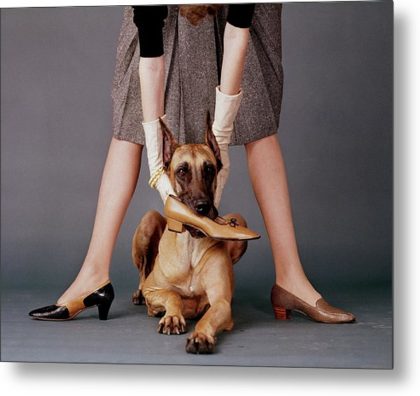 A Model With A Dog Holding A Shoe In Its Mouth Metal Print by John Rawlings