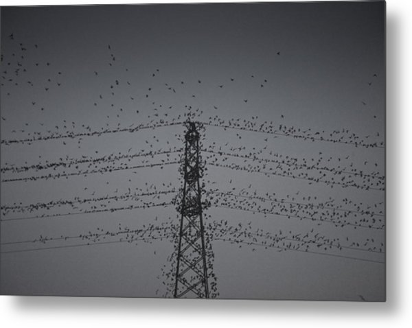 A Murmuration Of Starlings Metal Print