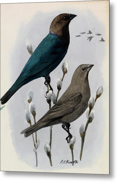 A Painting Of A Male And Female Cowbird Metal Print