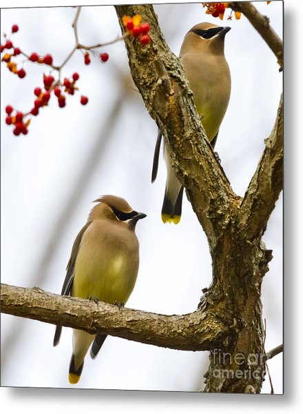 A Pair Of Cedar Waxwings Metal Print