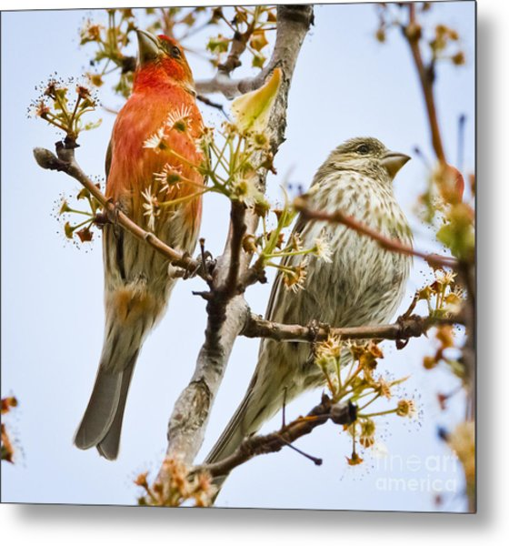 A Pair Of House Finches Metal Print