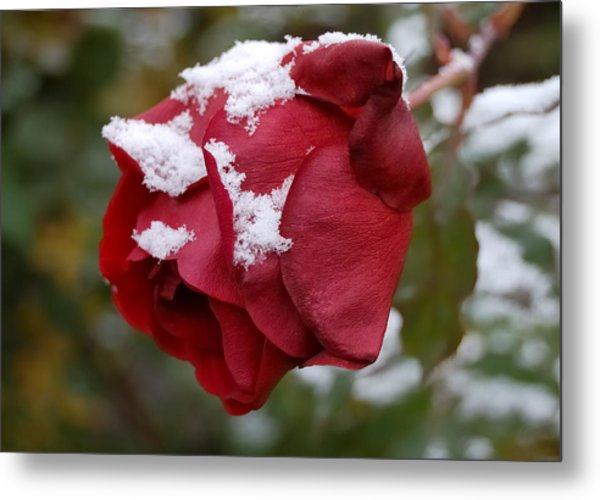 A Passing Unrequited - Rose In Winter Metal Print