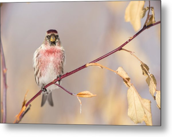 A Pretty Male Redpoll Metal Print