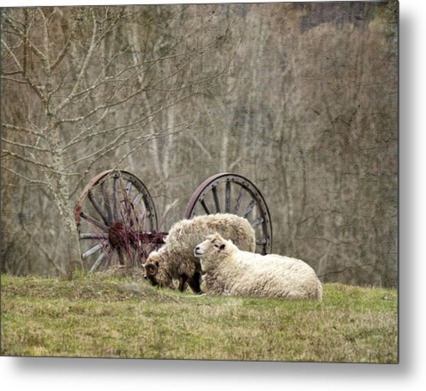 A Ram And Sheep With Attitude  Metal Print