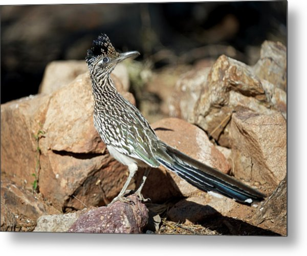 A Road Runner Pauses Momentarily Metal Print by Richard Wright
