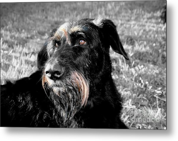 A Schnauzer's Plea  Metal Print by Jo Collins