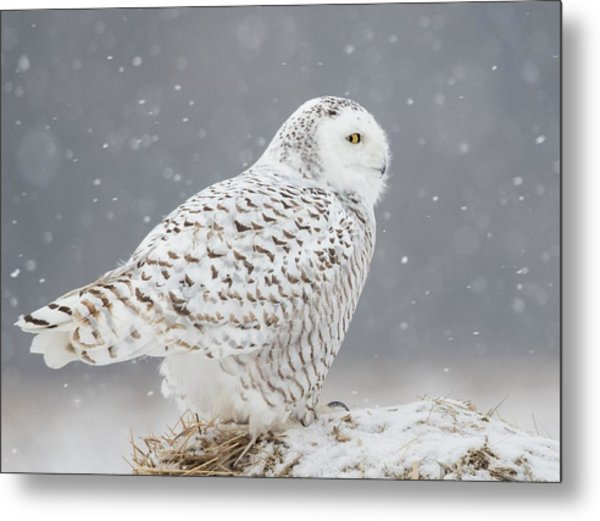 A Side Portrait Of Snowy Owl Metal Print by Ming H Yao