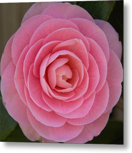 Metal Print featuring the photograph A Soft Blush by Jemmy Archer