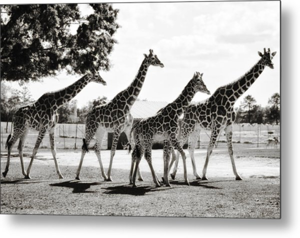 A Tower Of Giraffe - Black And White Metal Print
