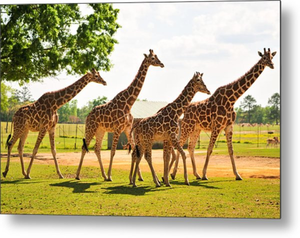 A Tower Of Giraffe Metal Print