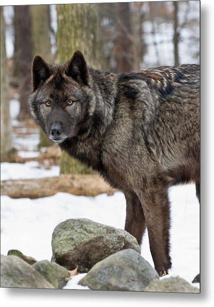 A Wolf's Intense Focus Metal Print