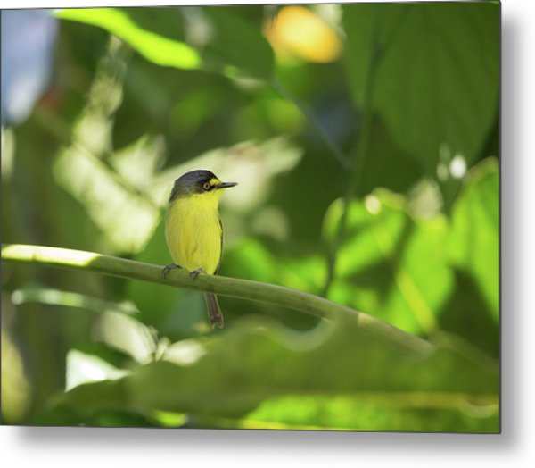 A Yellow-lored Tody Flycatcher Metal Print