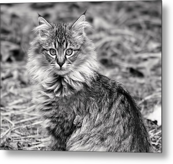A Young Maine Coon Metal Print
