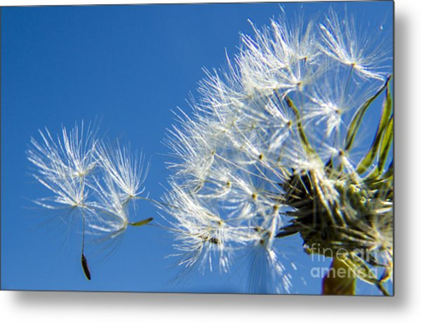 About To Leave - Dandelion Seeds Metal Print