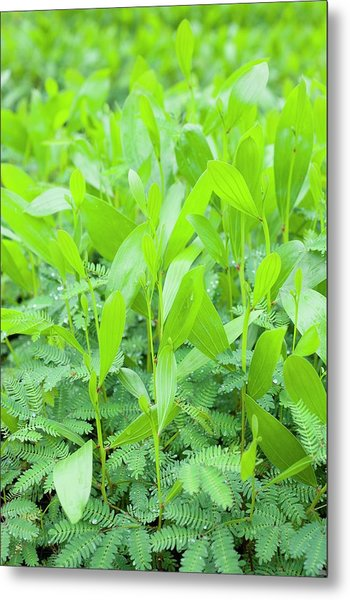 Acacia Seedlings Metal Print by Scubazoo/science Photo Library