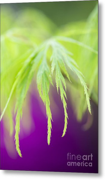 Acer Leaves Metal Print by Tim Gainey