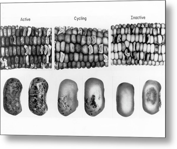 Active And Inactive Maize Metal Print