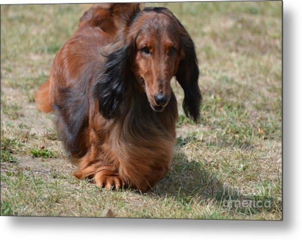 Adorable Long Haired Daschund Dog Metal Print