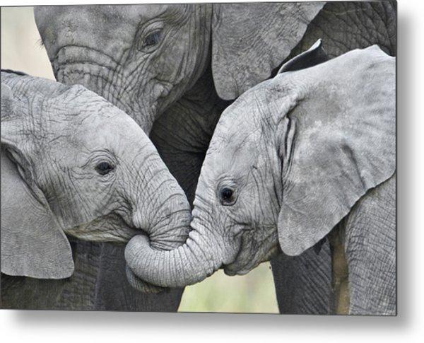 African Elephant Calves Loxodonta Metal Print
