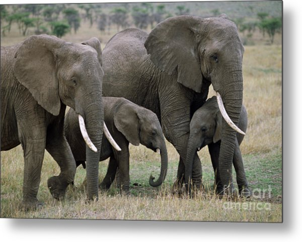 African Elephant Females And Calves Metal Print
