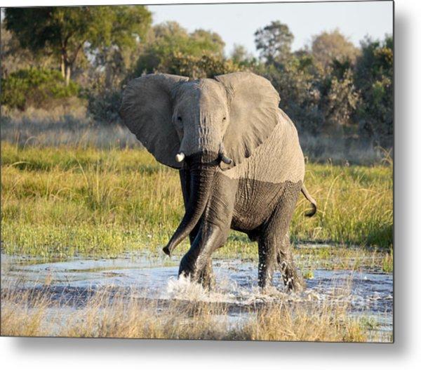African Elephant Mock-charging Metal Print