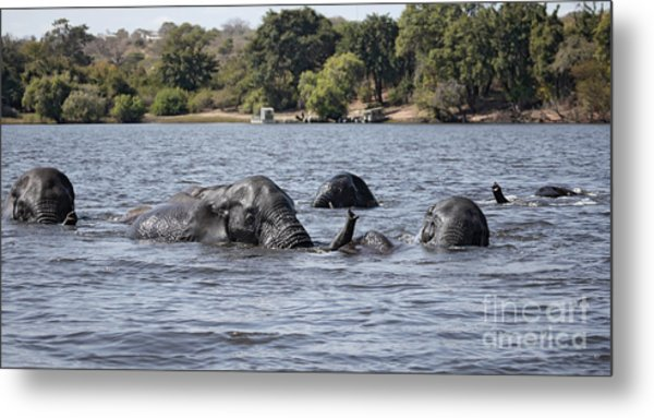 African Elephants Swimming In The Chobe River Metal Print