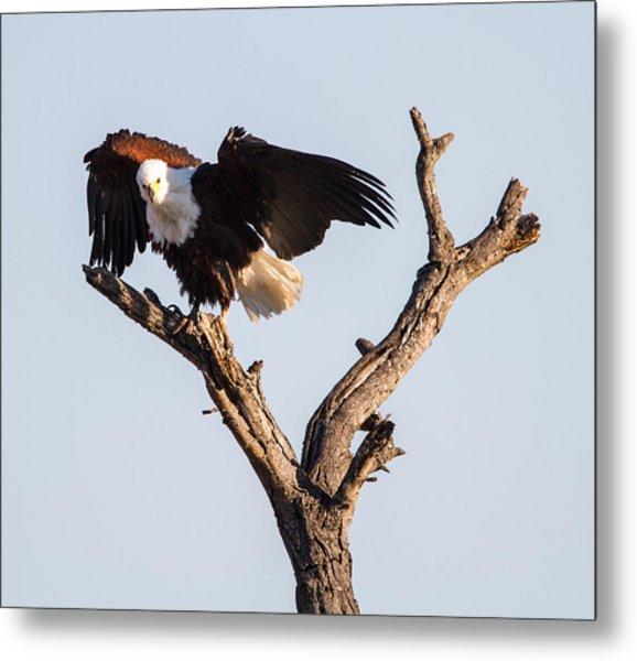 African Fish Eagle Metal Print by Craig Brown
