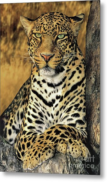 African Leopard Portrait Wildlife Rescue Metal Print