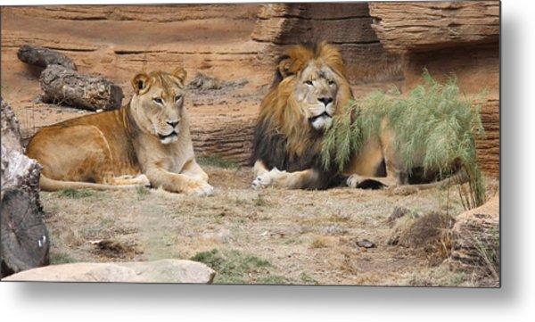 African Lion Couple 2 Metal Print