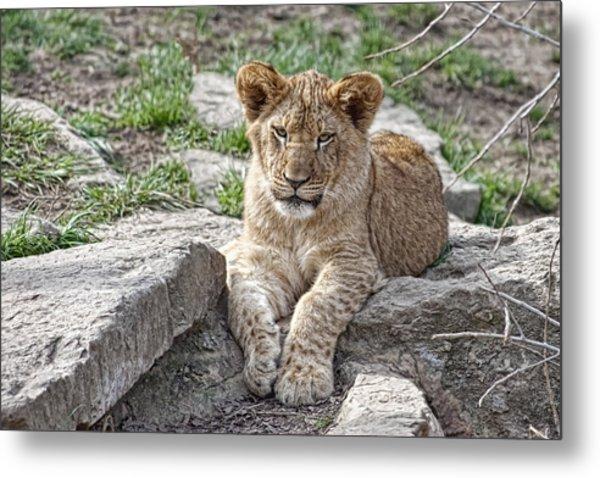 African Lion Cub Metal Print
