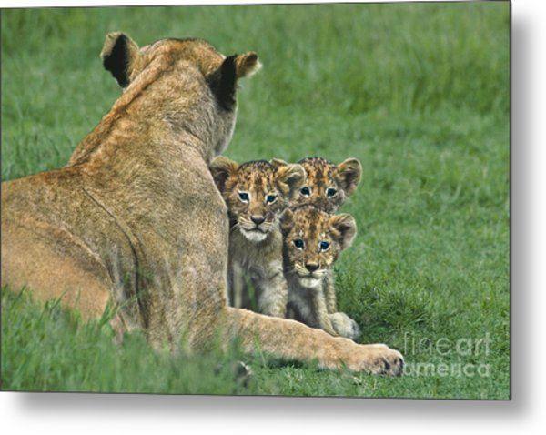 Metal Print featuring the photograph African Lion Cubs Study The Photographer Tanzania by Dave Welling