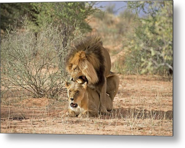 African Lions Mating Metal Print
