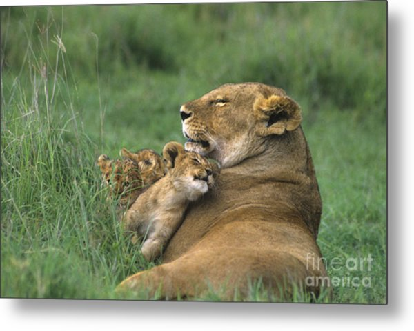 African Lions Mother And Cubs Tanzania Metal Print