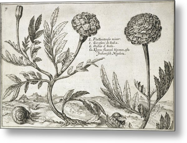 African Marigolds (tagetes Erecta) Metal Print by Natural History Museum, London