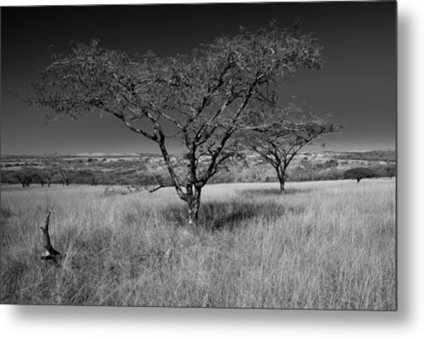 African Oak Metal Print by Scott Moore