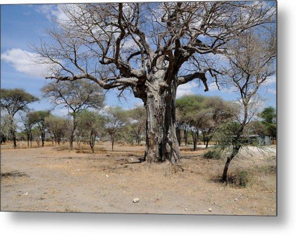 African Series 3000 Year Old Tree Metal Print by Katherine Green