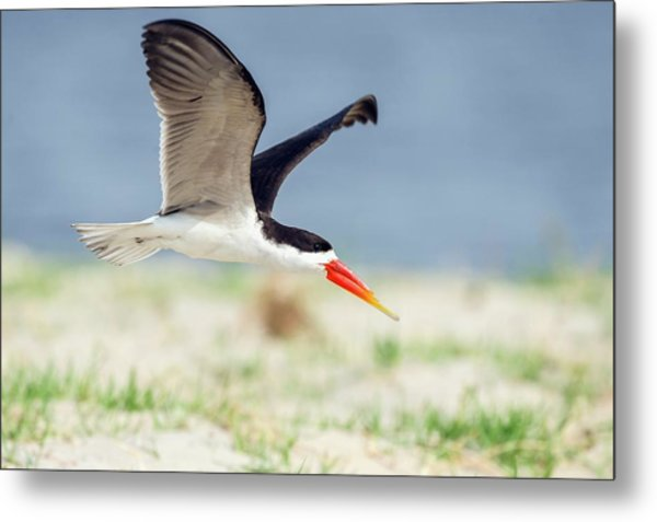 African Skimmer In Flight Metal Print