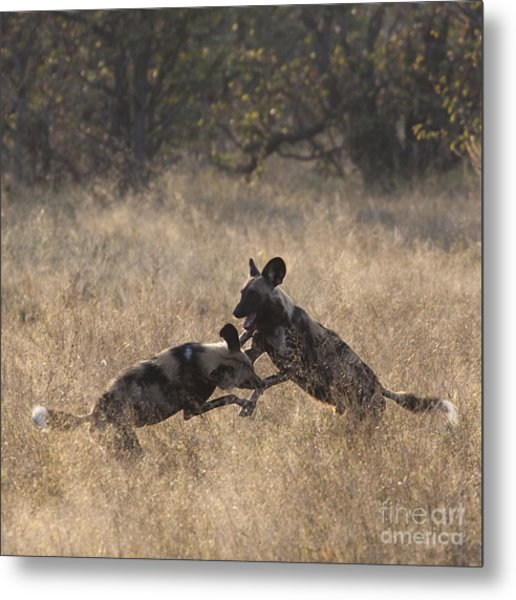 African Wild Dogs Play-fighting Metal Print