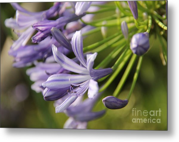 Agapanthus Flower Close-up Metal Print