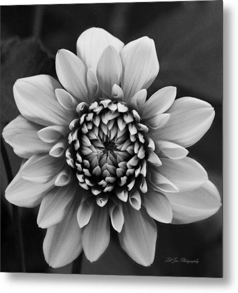 Ala Mode Dahlia In Black And White Metal Print