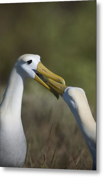 Albatross Courtship Metal Print by Richard Berry