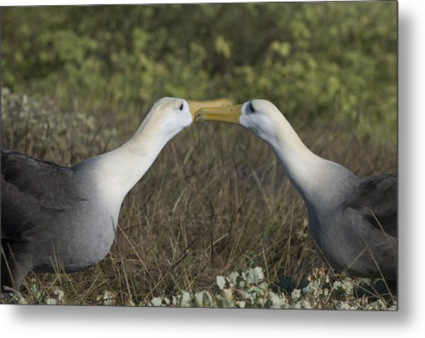 Albatross Perform Courtship Ritual Metal Print
