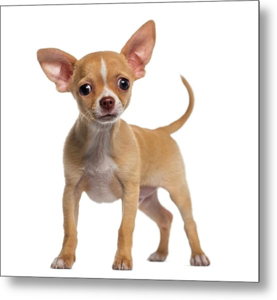 Alert Chihuahua Puppy 3 Months Old Metal Print by Life On White