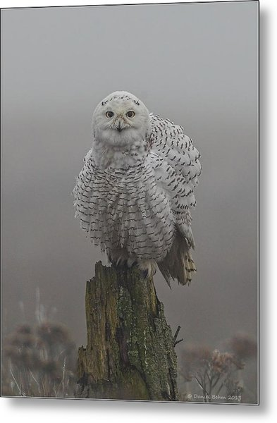 All Fluffed Up Metal Print