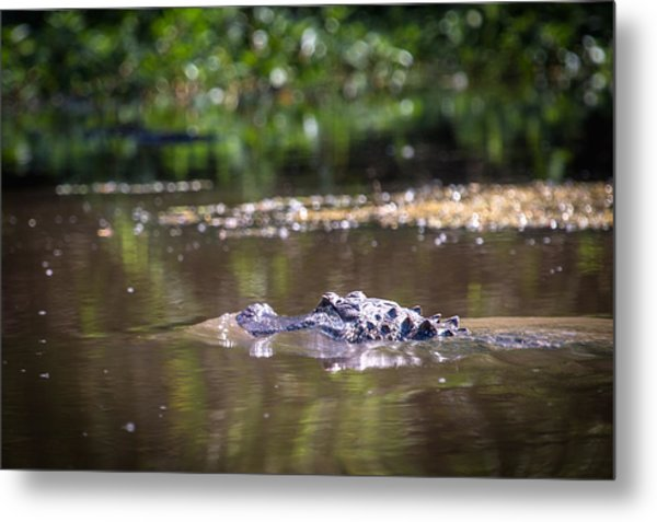 Alligator Swimming In Bayou 1 Metal Print